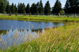 Natural amenity of Spruce Grove, pond with reeds on a sunny day near Dog Creek.